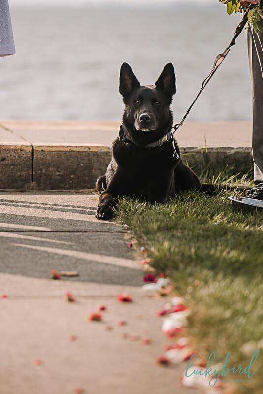 dog during wedding ceremony toledo ohio