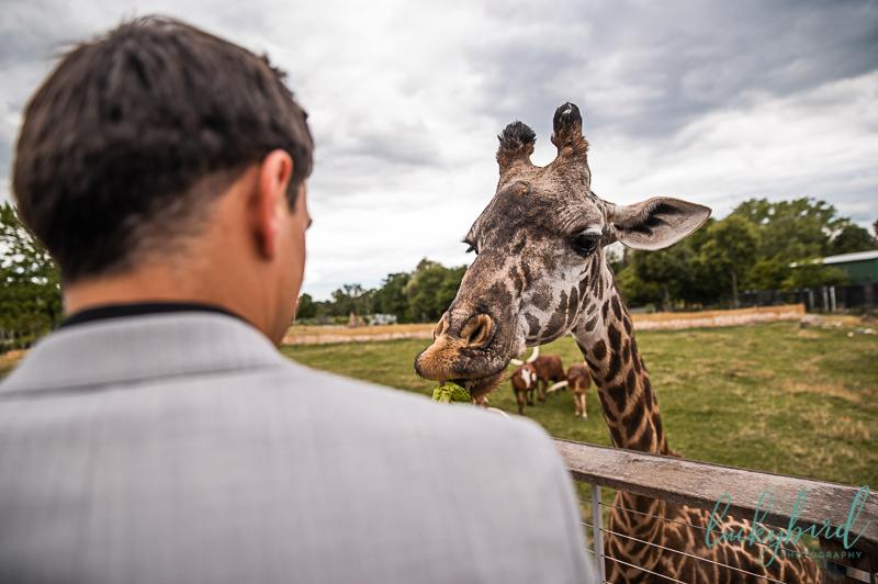 toledo zoo giraffe feeding